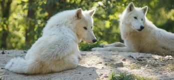 White snow wolfs resting on a sun royalty free stock photo