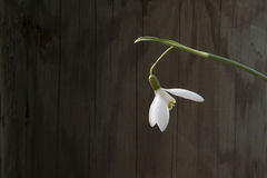 White snowbell closeup on wooden grey background, empty space, clear simplicity spring mood Stock Photography