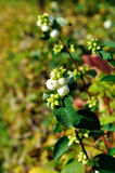 White snowberry berries - in Latin Symphoricarpos albus- on the bush  under the sunlight Stock Photo