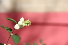 White snowberry Symphoricarpos albus Royalty Free Stock Photography