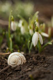 White snowdrop bell and empty snail shell. Flower in the shape of a small bell. Royalty Free Stock Images