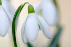 White snowdrop Royalty Free Stock Image