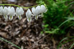 A white snowdrop in the early May stock image