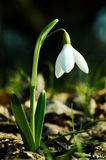 White Snowdrop Flower Stock Images