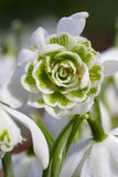 White snowdrop flower (Galanthus) Royalty Free Stock Image