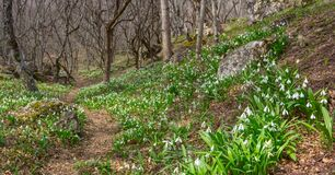 White Snowdrop Flower Glade In A Spring Forest Stock Images