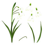 White Snowdrop Flower. isolated on White Background. Vector Illustration Royalty Free Stock Images
