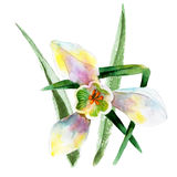 White snowdrop flower isolated on white background, vintage watercolor illustration Royalty Free Stock Photos