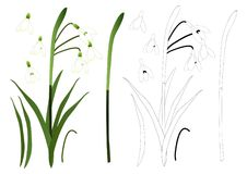 White Snowdrop Flower Outline. isolated on White Background. Vector Illustration. Royalty Free Stock Images