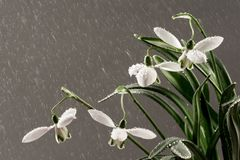 White snowdrop flower in rain Stock Photography