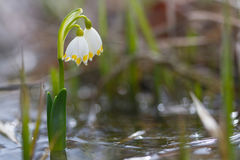White snowdrop flower in water with abstract bokeh background Stock Photography