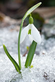 White snowdrop flowers. On the snow Stock Images
