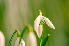 White snowdrop Royalty Free Stock Images