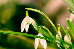 White snowdrop Stock Photos