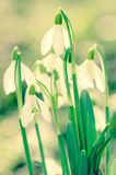 White snowdrop Royalty Free Stock Photos