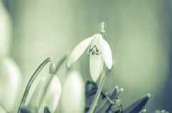 White snowdrop Royalty Free Stock Photo