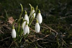 White snowdrops Stock Photos