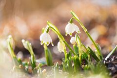 Snowdrops in backlight. White beautiful spring flower royalty free stock images