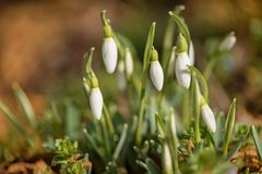 Snowdrops in backlight. White beautiful spring flower. White snowdrops in backlight. beautiful spring flower stock photo