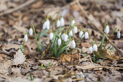 White snowdrops first spring flowers Stock Image