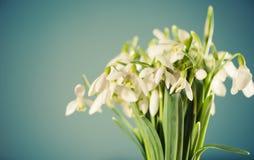 White snowdrops flowers Stock Photo