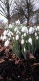 White snowdrops stock image