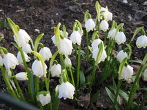 White snowdrops in an forest Stock Images