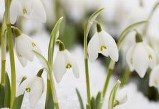 White snowdrops (Galanthus nivalis) Royalty Free Stock Photos