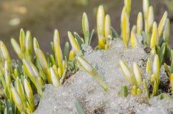 White  snowdrops in garden. Stock Photo