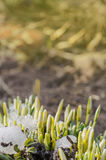 White  snowdrops in garden. Stock Images