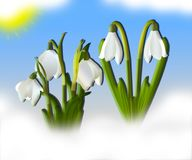 White snowdrops with green leaves in snow in the background.  Stock Photos