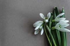 First spring small flowers snowdrops. stock photo