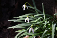 White snowdrops. Are growing up Royalty Free Stock Photos