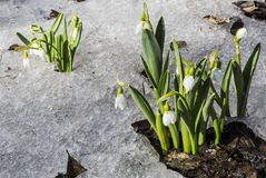 Free White Snowdrops In The Snow Royalty Free Stock Photos - 70036838