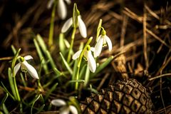 White snowdrops. Macro shot of white snowdrops with pine cone Stock Photography