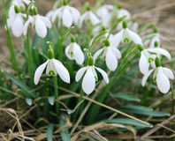 White snowdrops is one of the first spring flowers as spring bac Stock Photo