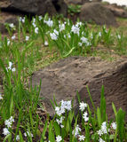 White snowdrops and rocky landscape Royalty Free Stock Photos