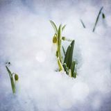 White snowdrops with snow Royalty Free Stock Image