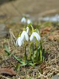 White snowdrops in spring Stock Photo