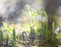 White snowdrops in the spring raindrops. stock photo