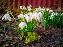 White snowdrops in springtime 2. Couple of white snowdrops in springtime. Spring flowers stock photo
