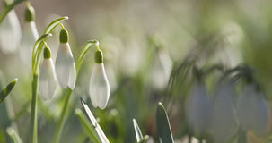 White snowdrops in sunny spring morning closeup Royalty Free Stock Photo