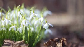 White snowdrops wave on wind.  stock video