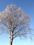White snowy birch tree , Lithuania Royalty Free Stock Photos