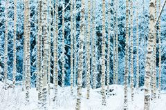 White snowy birch trunks in winter forest stock images