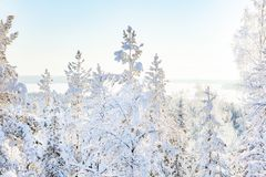 White snowy birches in wintry forest in sunshine stock photo