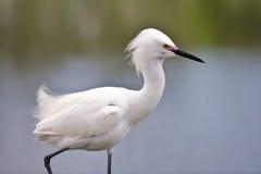 White Snowy Egret Royalty Free Stock Image