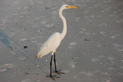 Free White Snowy Egret Royalty Free Stock Photos - 13436598