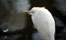 White snowy  egret close up Royalty Free Stock Photo