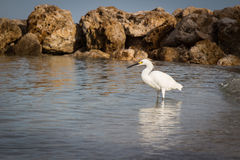White Snowy Egret in the sea Stock Photo